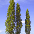 Poplar trees 2 — Stock Photo