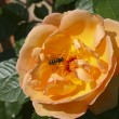 Hoverfly on brightly coloured rose — Stock Photo #2764391
