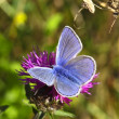 Stock Photo: Male common blue butterfly