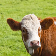 Brown and white cow — Stock Photo