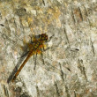 Dragonfly on birch bark — Stock Photo