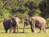 Two sri lankan elephants — Stock Photo