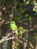 Little green beeater on branch — Stock Photo