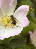 Hoverfly on wild dog rose — Stock Photo