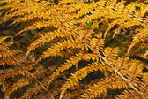 Autumn ferns 2 — Stock Photo