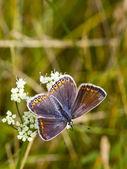 Eine weibliche gemeinsame blauer schmetterling 2 — Stockfoto