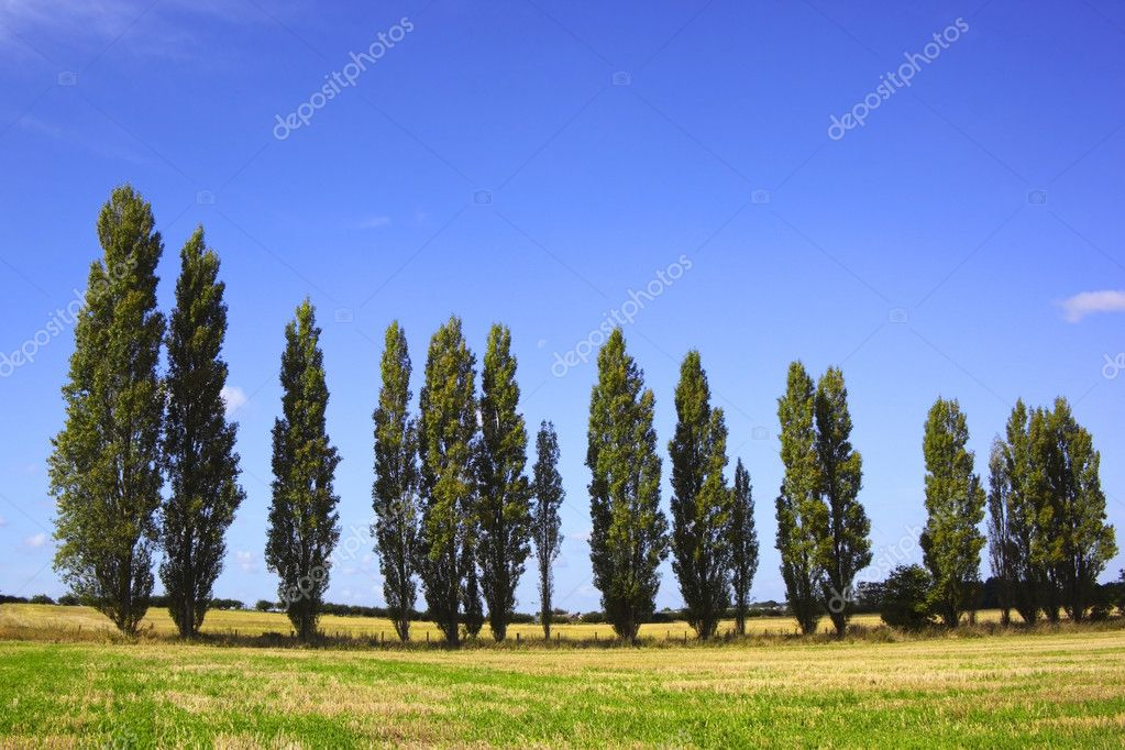 A line of poplar trees in a rural setting in summer — Stock Photo #2764378