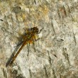 Dragonfly on birch bark — Stock Photo #2772622