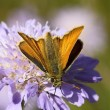 Stock Photo: Large skipper on scabious flower