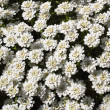 Stock Photo: Perennial candytuft flower