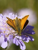 Large skipper on a scabious flower — Stock Photo