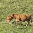 Cow and calf in field — Stock Photo