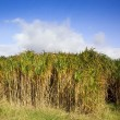 Miscanthus elephant grass - Stock Photo