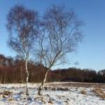 Winter birch trees — Stock Photo #2783794