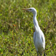Sri lankan cattle egret — Stock Photo