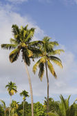 Kerala palms — Stock Photo