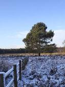 Winter pine 2 — Stock Photo