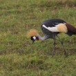 Crowned crane in kenya — Stock Photo #2793124