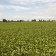 Field of sugar beet - Stock Photo