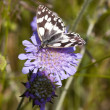 Marbled white butterfly — Stock Photo #2797311
