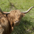 Highland cow in dappled light — Stockfoto