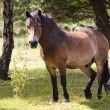 Exmoor pony in forest 2 — Stock Photo