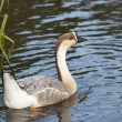 Royalty-Free Stock Photo: Swan goose female 2