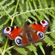 Peacock butterfly on bracken fern — Stock Photo #2798015