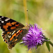 Painted lady butterfly on flower — Stock Photo