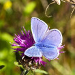 Stock Photo: Common blue butterfly