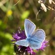 Stock Photo: Male common blue butterfly 5