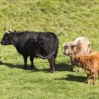 Highland cow and two calves — Stock Photo