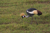 Crowned crane in kenya — Stock Photo