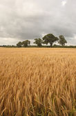 Ripening barley field — Stock Photo