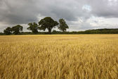 Ripening barley in summer — Stock Photo