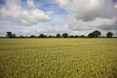 Ripening wheat in summer — Stock Photo