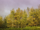 Birch trees with dramatic sky — Stock Photo