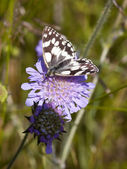 Marbled white butterfly — Stock Photo