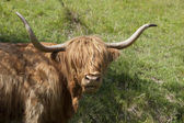 Highland cow in dappled light — Stock Photo