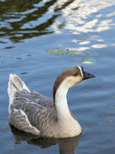 Swan goose female 3 — Stock Photo