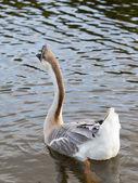 Swan goose male 2 — Stock Photo