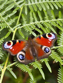 Peacock butterfly on bracken fern — Stock Photo