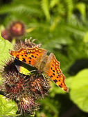 Comma butterfly on vegetation — Stock Photo