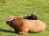 Highland bull and cow — Stock Photo