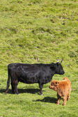 Highland cow and calf 2 — Stock Photo