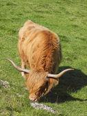 Highland cow — Stockfoto