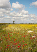 Poppies with oil seed crop — Stock Photo