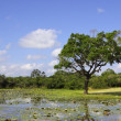 Yala landscape with water lillies — Stock Photo
