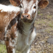 Stock Photo: Inquisitive calf