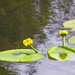 Yellow water lillies — Stock Photo